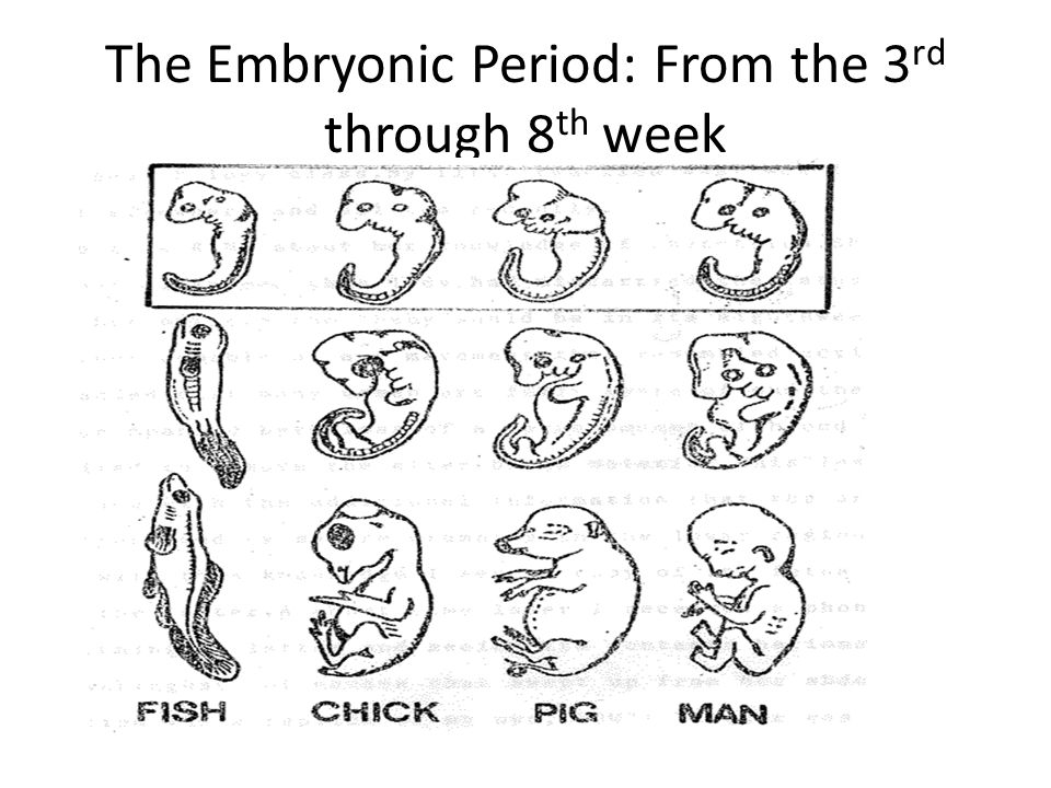 The Embryonic Period: From the 3rd through 8th week
