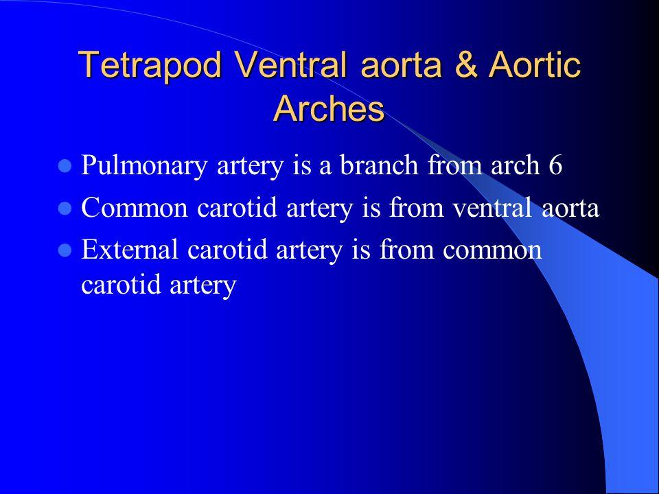 Tetrapod Ventral aorta & Aortic Arches