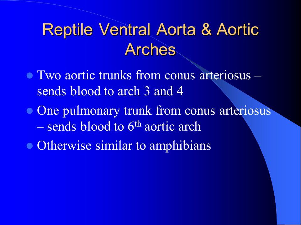 Reptile Ventral Aorta & Aortic Arches
