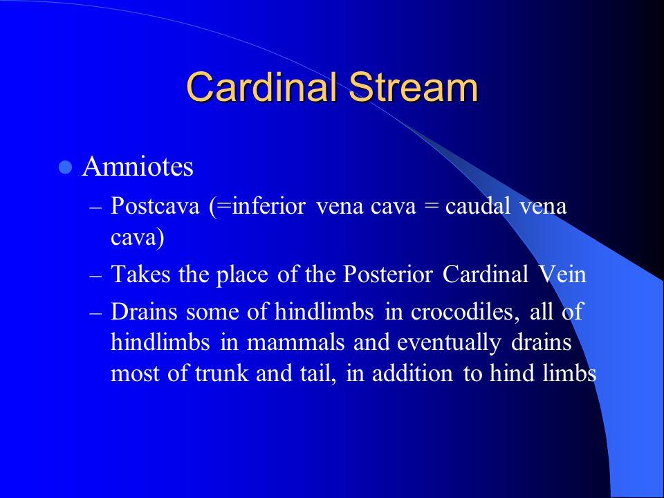 Cardinal Stream Amniotes