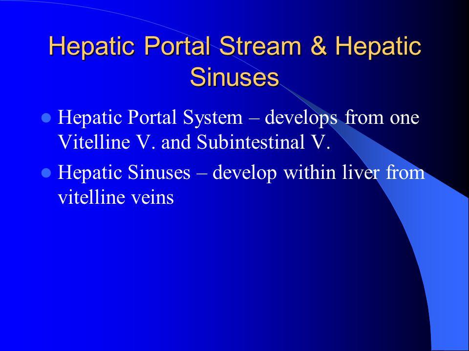 Hepatic Portal Stream & Hepatic Sinuses
