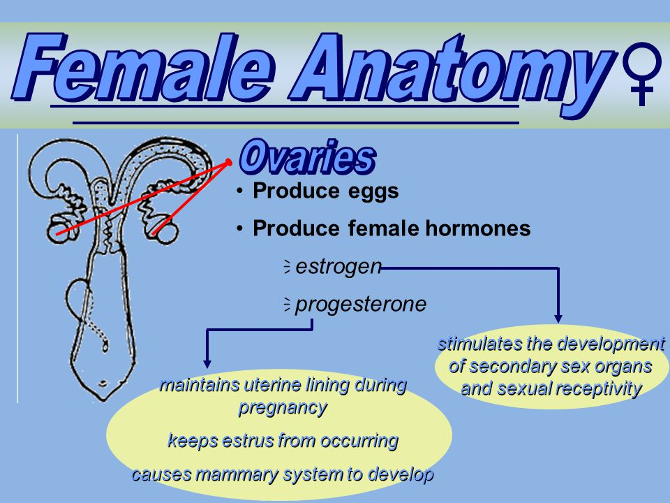 Female Anatomy Ovaries Produce eggs Produce female hormones estrogen