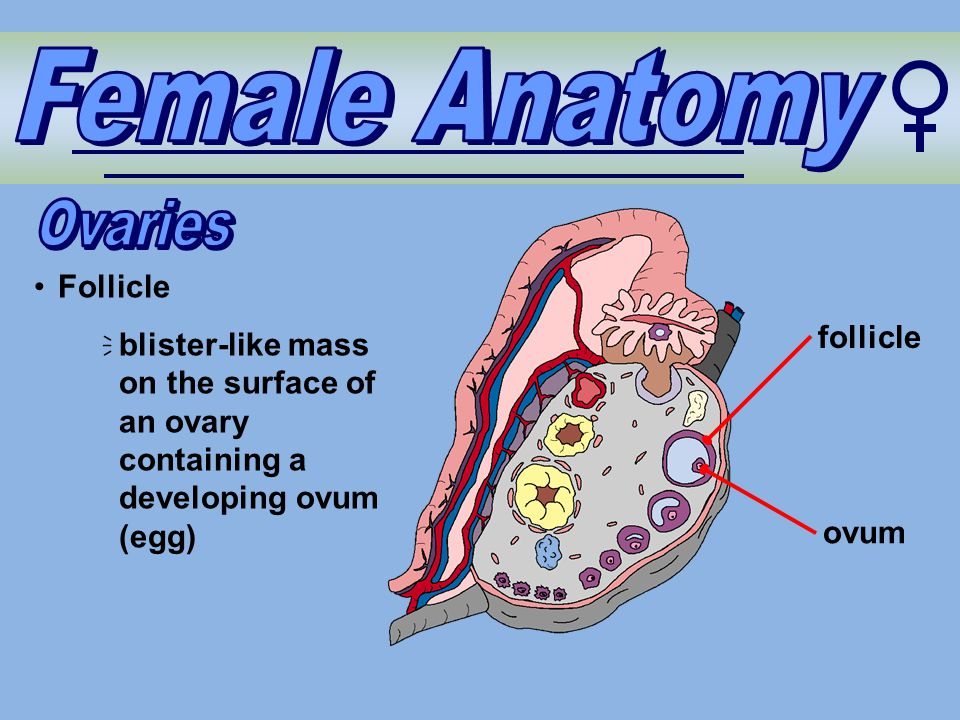 Female Anatomy Ovaries Follicle