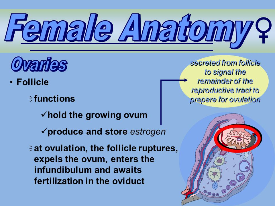Female Anatomy Ovaries Follicle functions hold the growing ovum