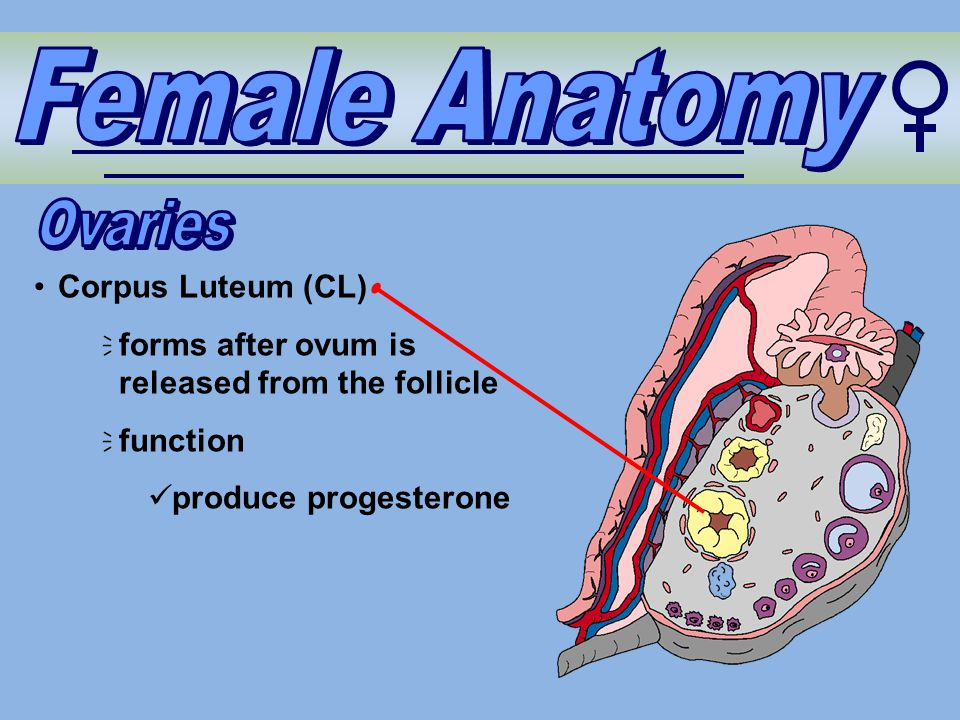 Female Anatomy Ovaries Corpus Luteum (CL)