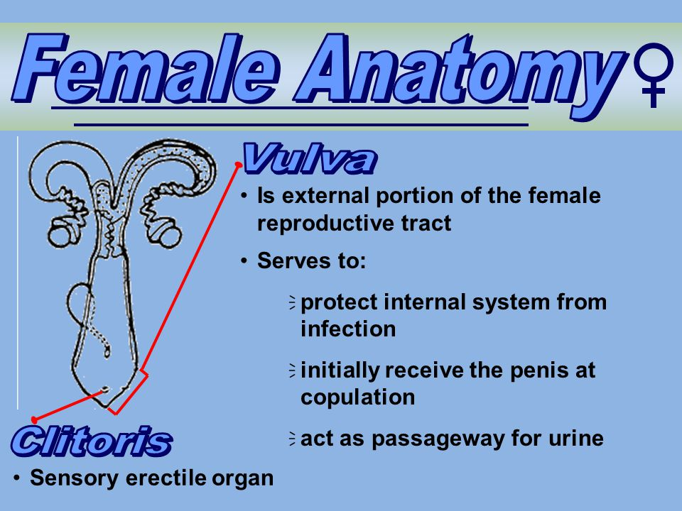 Female Anatomy Vulva Clitoris
