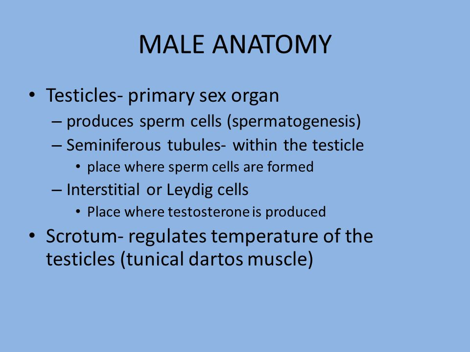 MALE ANATOMY Testicles- primary sex organ
