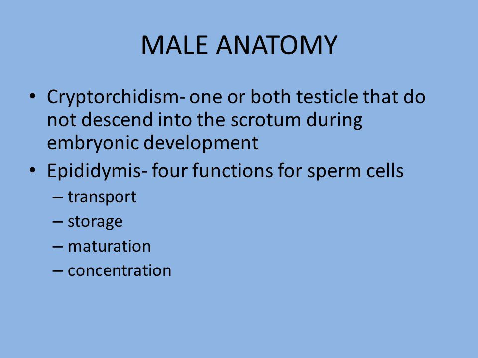 MALE ANATOMY Cryptorchidism- one or both testicle that do not descend into the scrotum during embryonic development.
