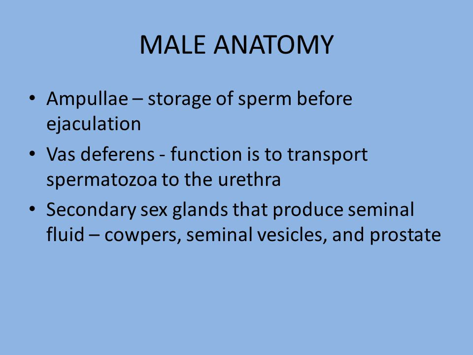MALE ANATOMY Ampullae – storage of sperm before ejaculation