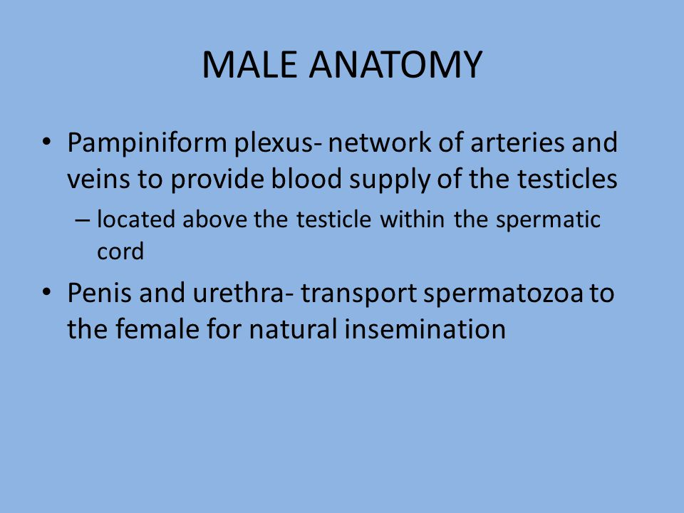 MALE ANATOMY Pampiniform plexus- network of arteries and veins to provide blood supply of the testicles.
