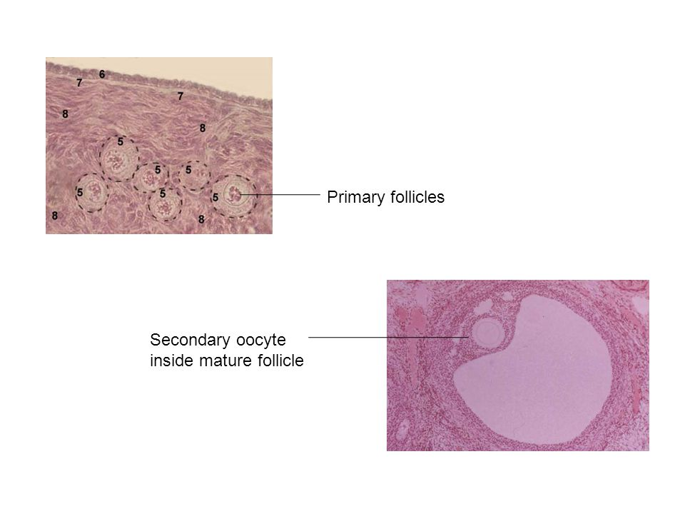 Primary follicles Secondary oocyte inside mature follicle