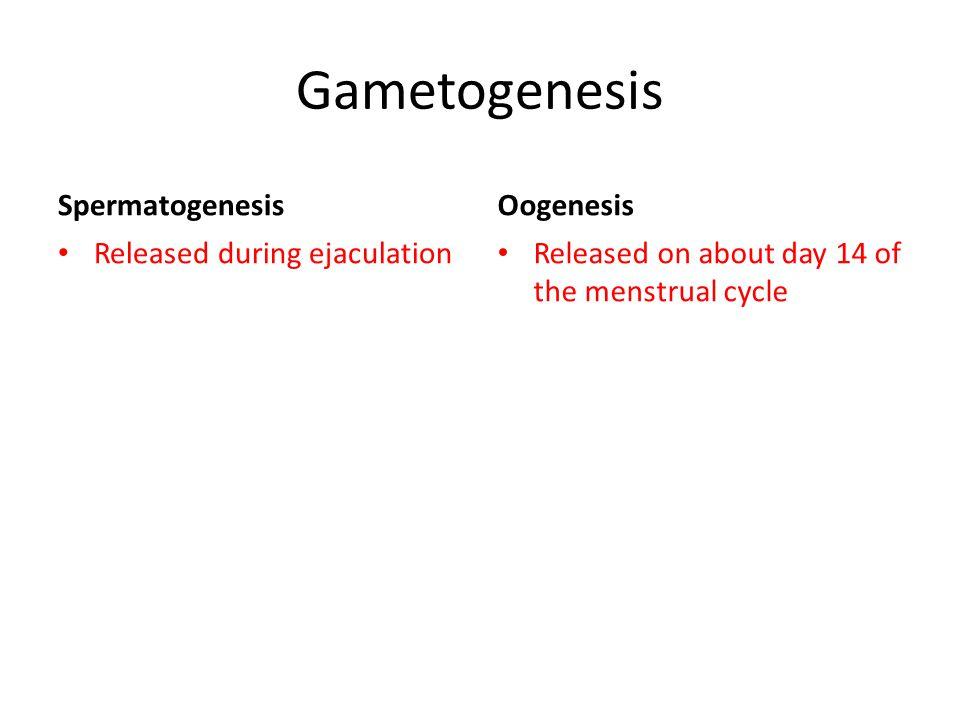 Gametogenesis Spermatogenesis Oogenesis Released during ejaculation
