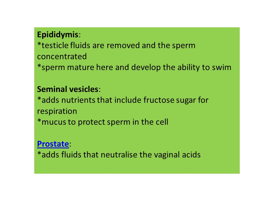 Epididymis: *testicle fluids are removed and the sperm concentrated. *sperm mature here and develop the ability to swim.