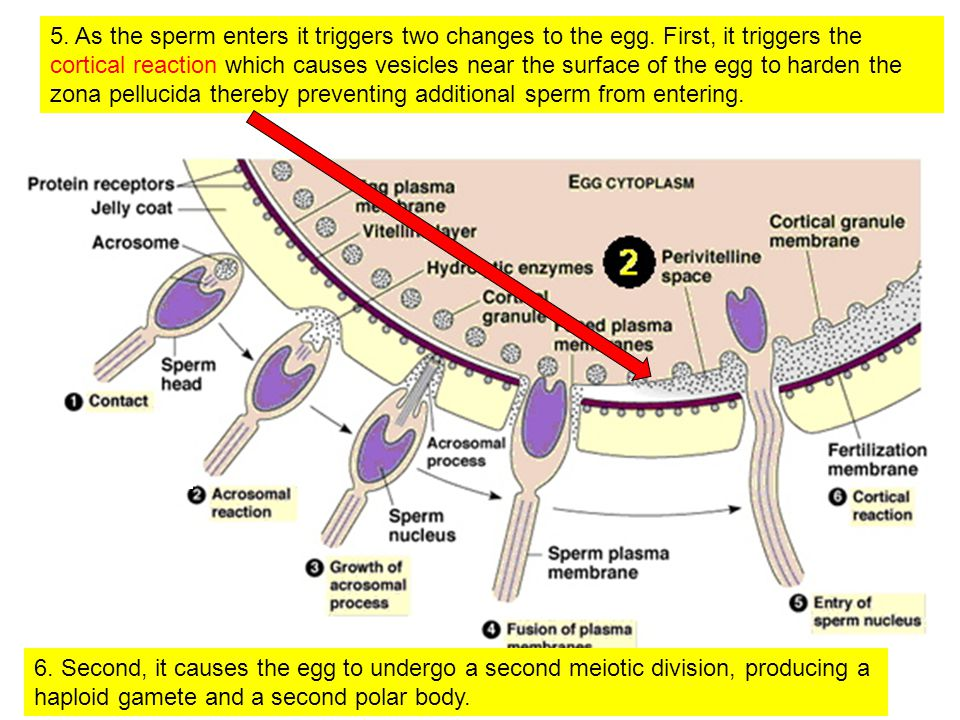 5. As the sperm enters it triggers two changes to the egg