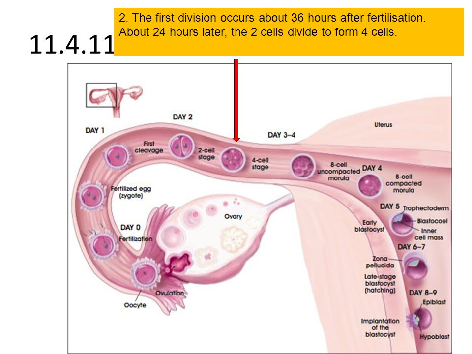 2. The first division occurs about 36 hours after fertilisation