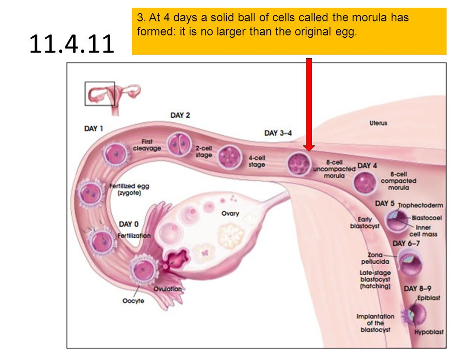 3. At 4 days a solid ball of cells called the morula has formed: it is no larger than the original egg.