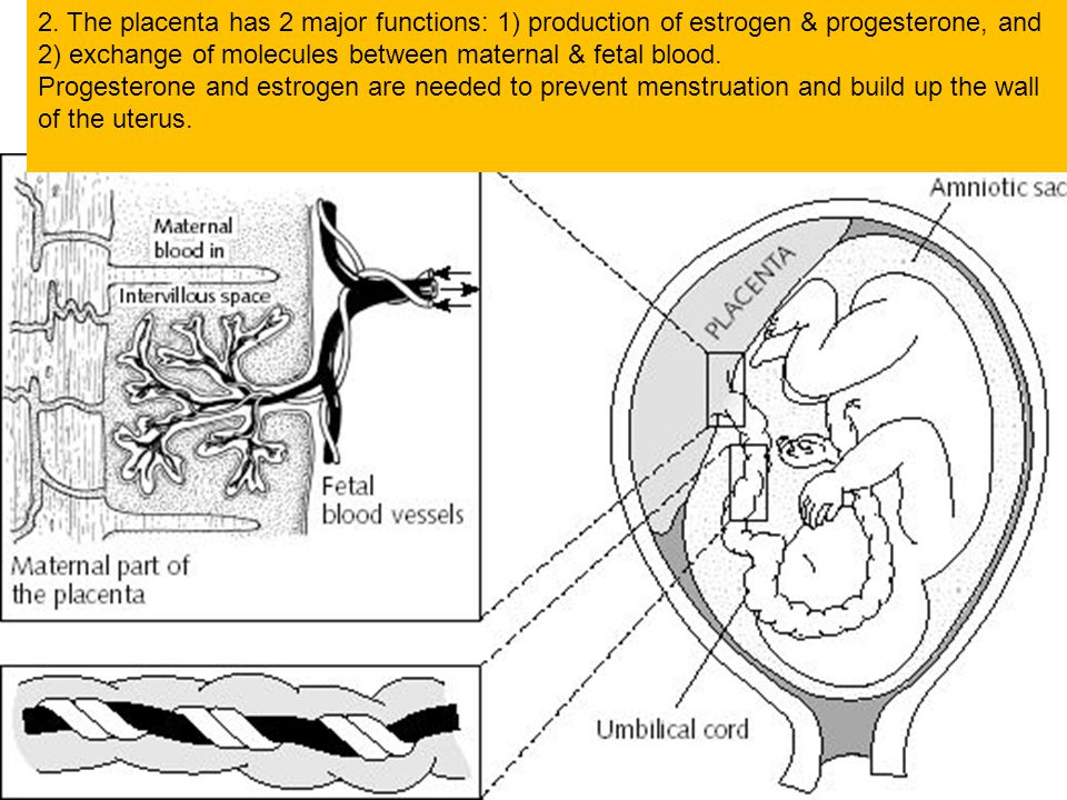 2. The placenta has 2 major functions: 1) production of estrogen & progesterone, and 2) exchange of molecules between maternal & fetal blood.