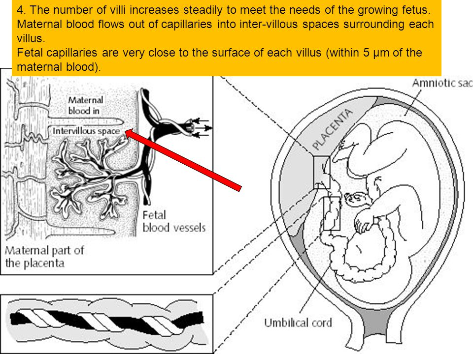 4. The number of villi increases steadily to meet the needs of the growing fetus.