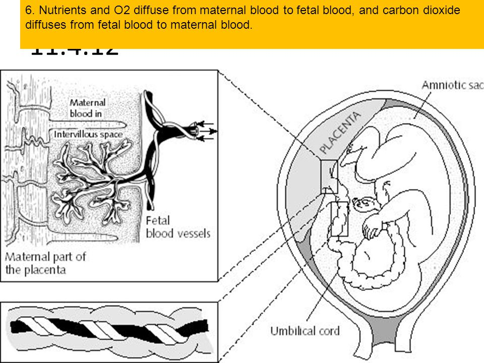 6. Nutrients and O2 diffuse from maternal blood to fetal blood, and carbon dioxide diffuses from fetal blood to maternal blood.