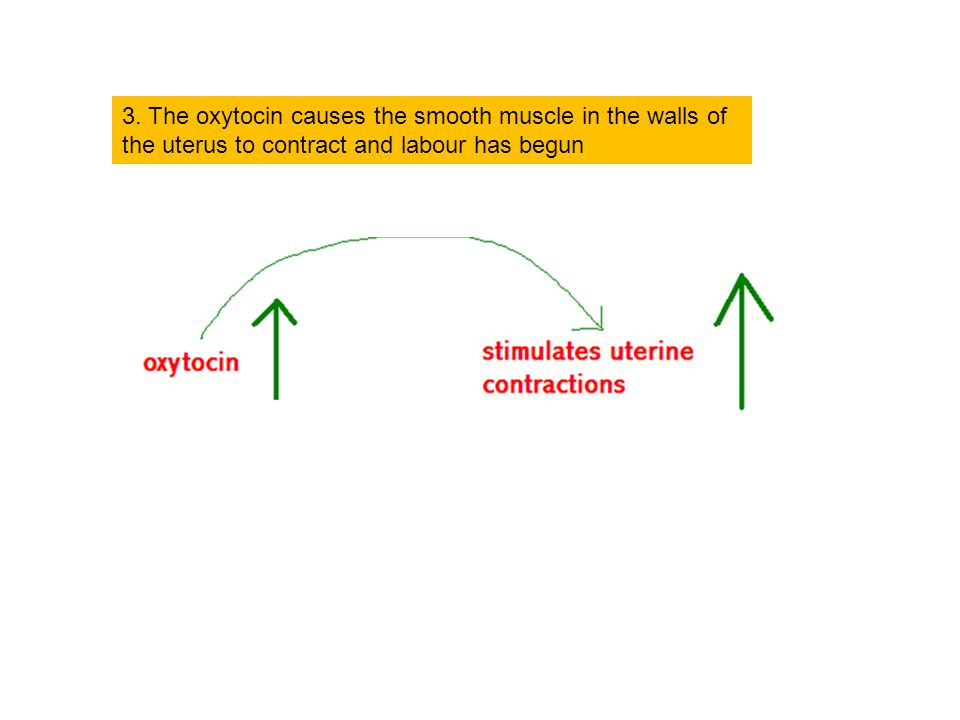 3. The oxytocin causes the smooth muscle in the walls of the uterus to contract and labour has begun