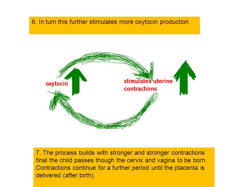 6. In turn this further stimulates more oxytocin production