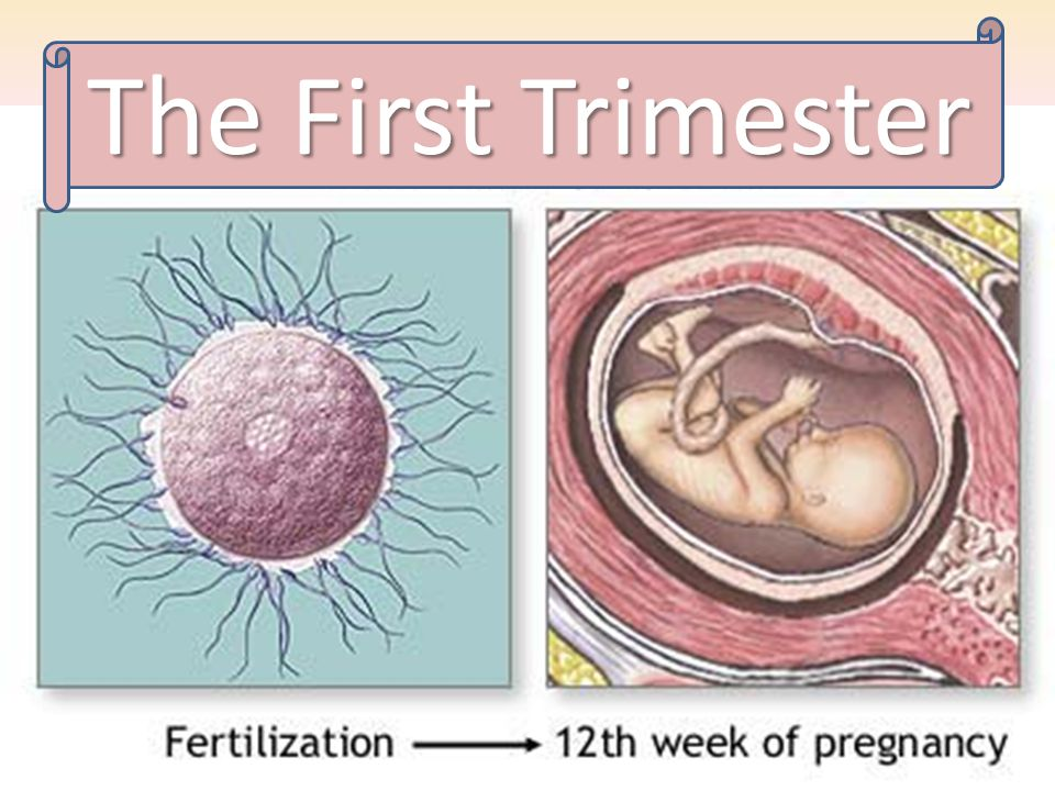 The First Trimester First Trimester