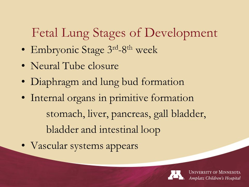 Fetal Lung Stages of Development
