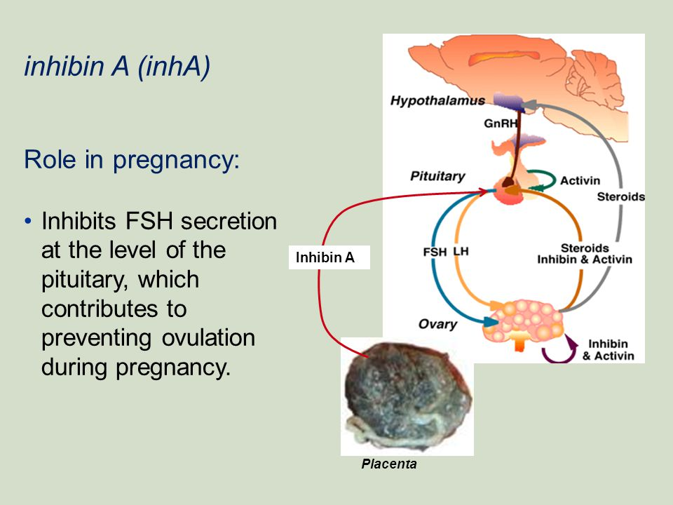 inhibin A (inhA) Role in pregnancy: