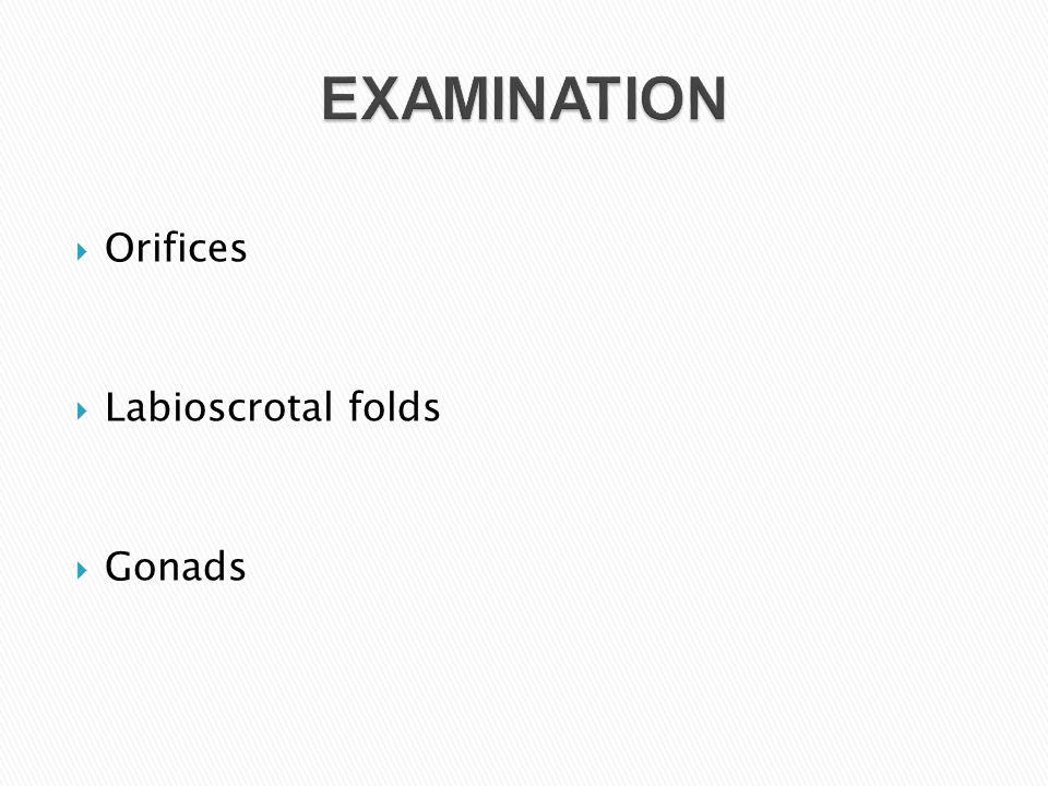 EXAMINATION Orifices Labioscrotal folds Gonads