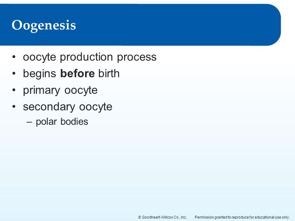 Oogenesis oocyte production process begins before birth primary oocyte