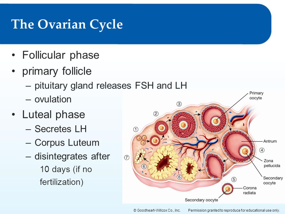 The Ovarian Cycle Follicular phase primary follicle Luteal phase