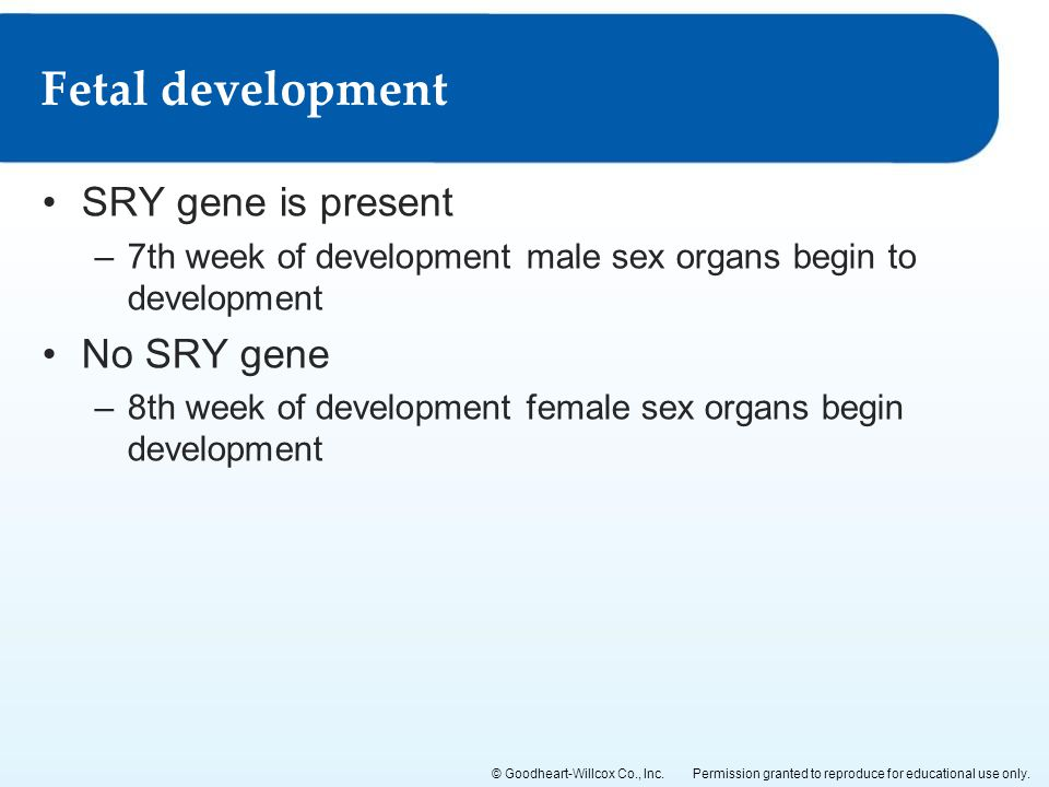 Fetal development SRY gene is present No SRY gene