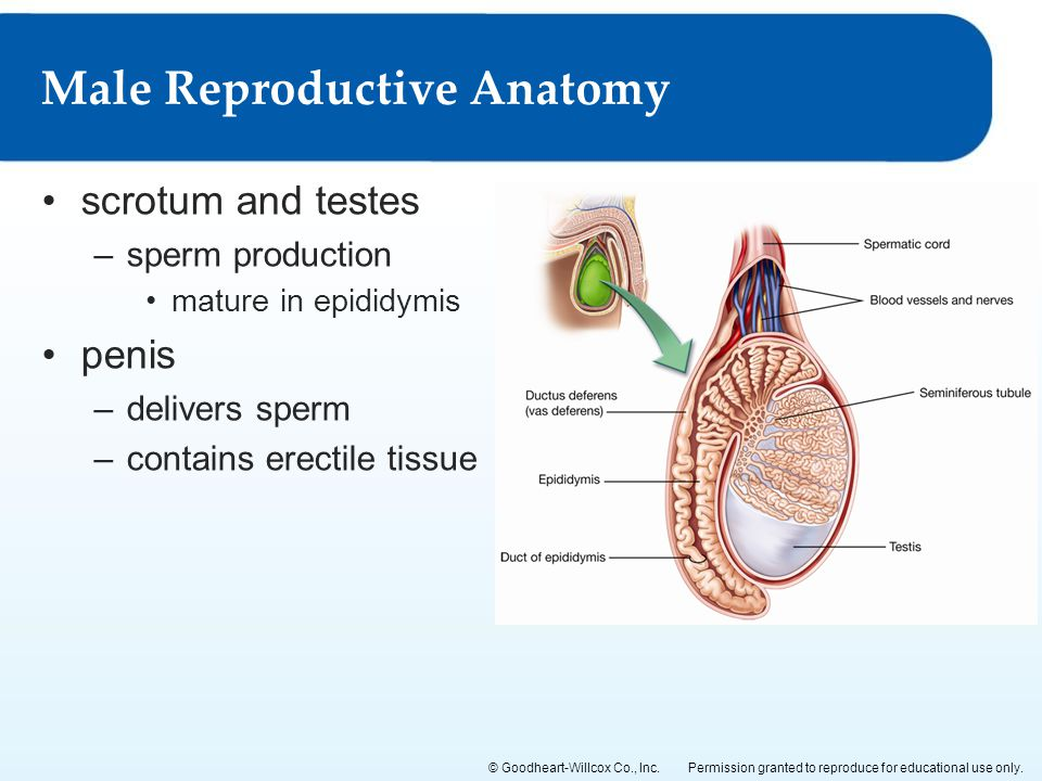 Reproduction and Development of the Human Reproductive Systems - ppt ...