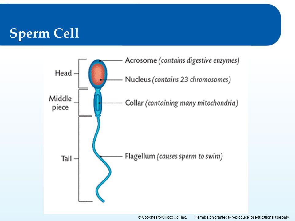 Sperm Cell