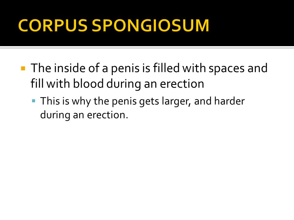 CORPUS SPONGIOSUM The inside of a penis is filled with spaces and fill with blood during an erection.