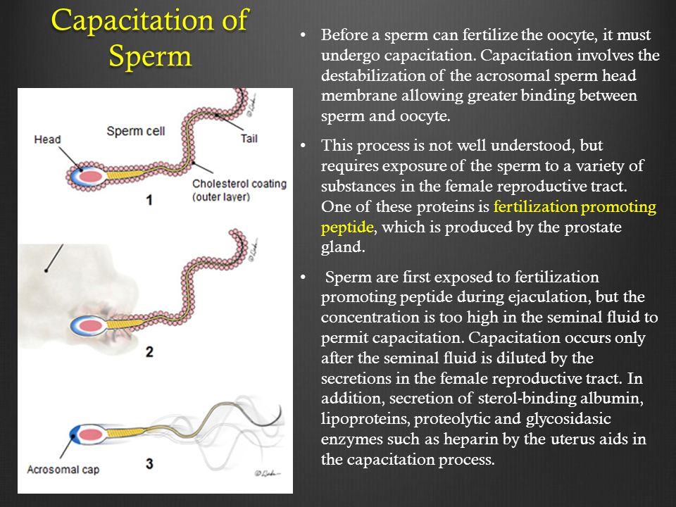 Capacitation of Sperm