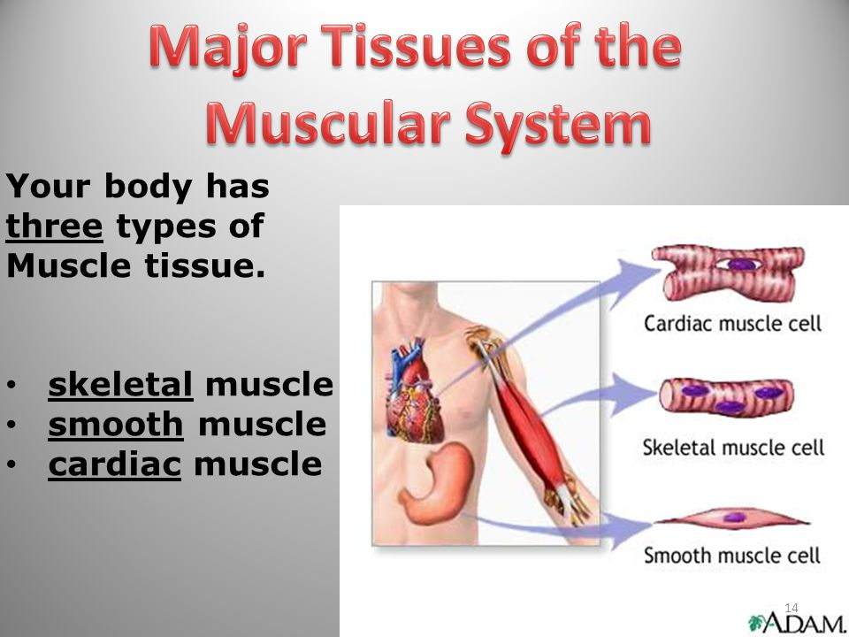 Major Tissues of the Muscular System