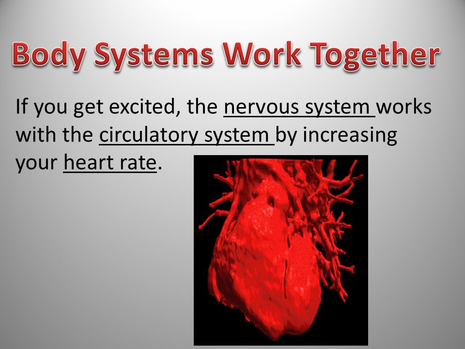 If you get excited, the nervous system works with the circulatory system by increasing your heart rate.