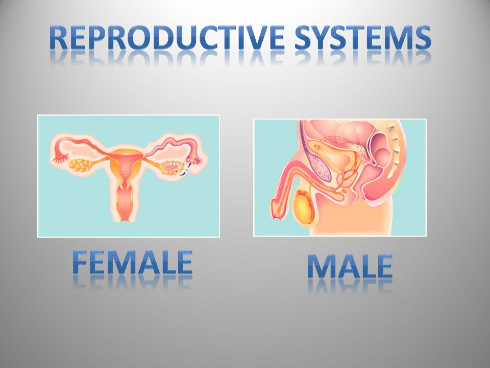 Reproductive Systems Female Male