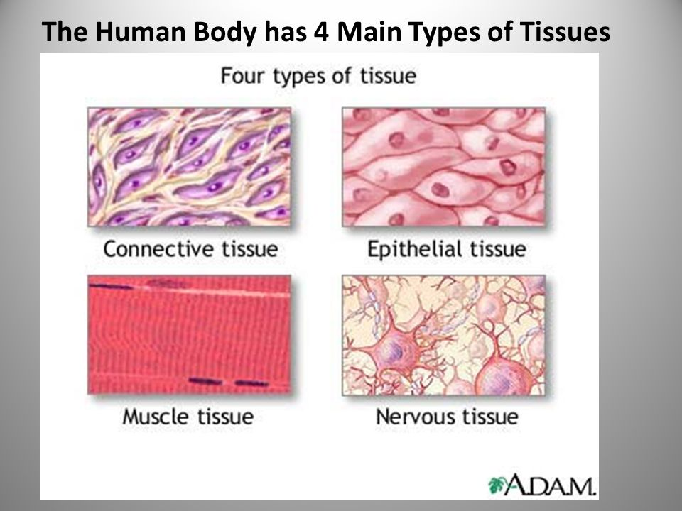 The Human Body has 4 Main Types of Tissues