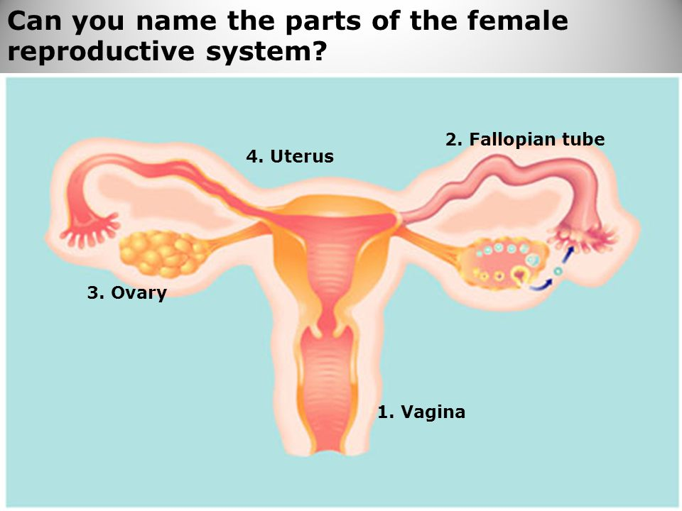 Can you name the parts of the female reproductive system