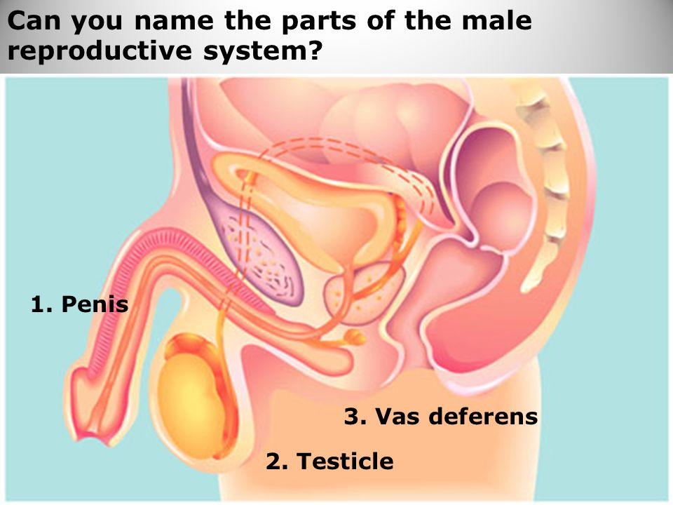 Can you name the parts of the male reproductive system