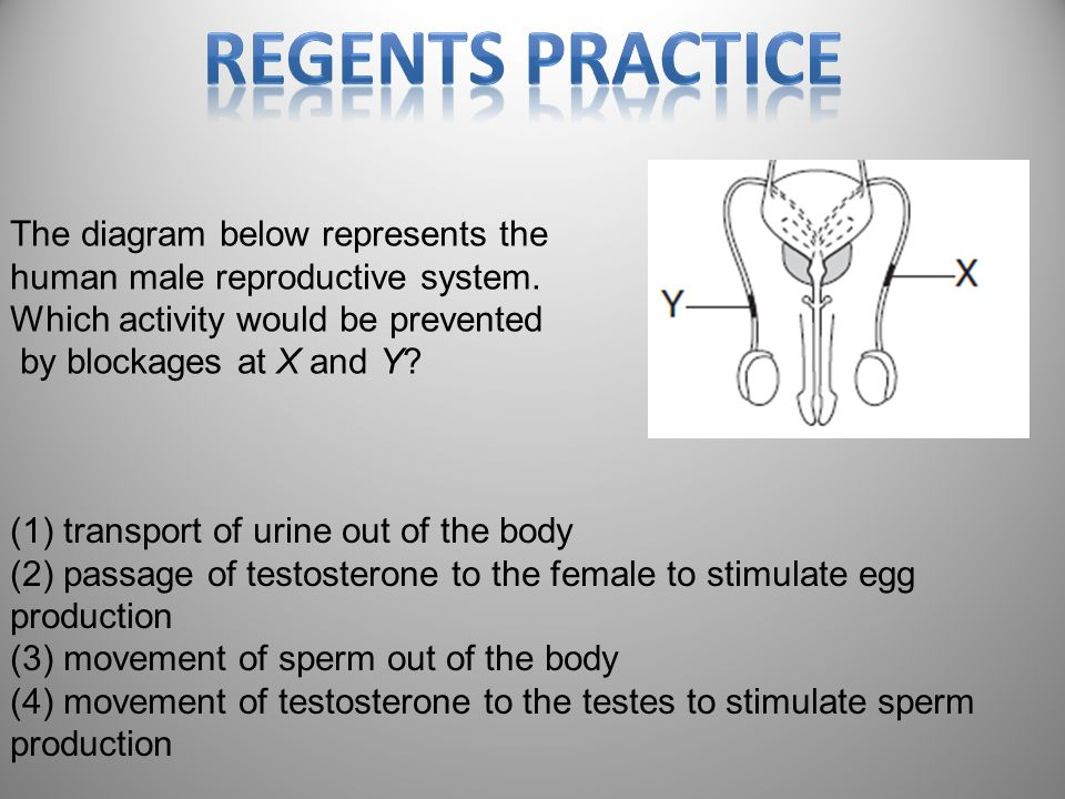 Regents Practice The diagram below represents the human male reproductive system. Which activity would be prevented.