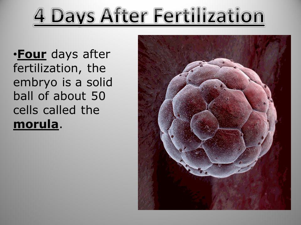 4 Days After Fertilization