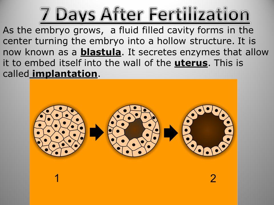 7 Days After Fertilization