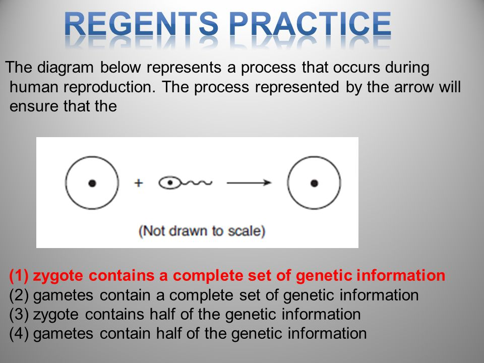 Regents Practice The diagram below represents a process that occurs during. human reproduction. The process represented by the arrow will.