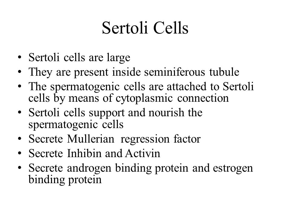 Sertoli Cells Sertoli cells are large