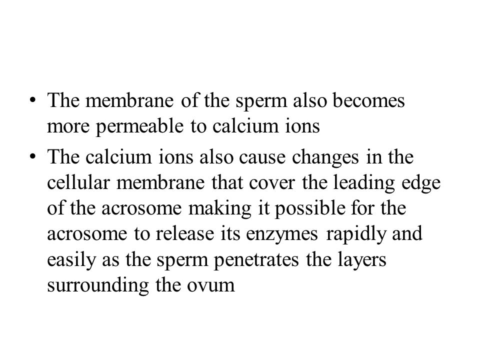 The membrane of the sperm also becomes more permeable to calcium ions