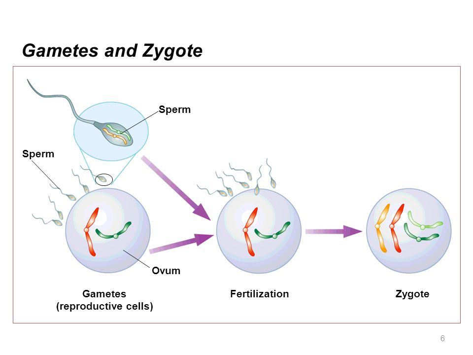 Gametes and Zygote Sperm Sperm Ovum Gametes (reproductive cells)