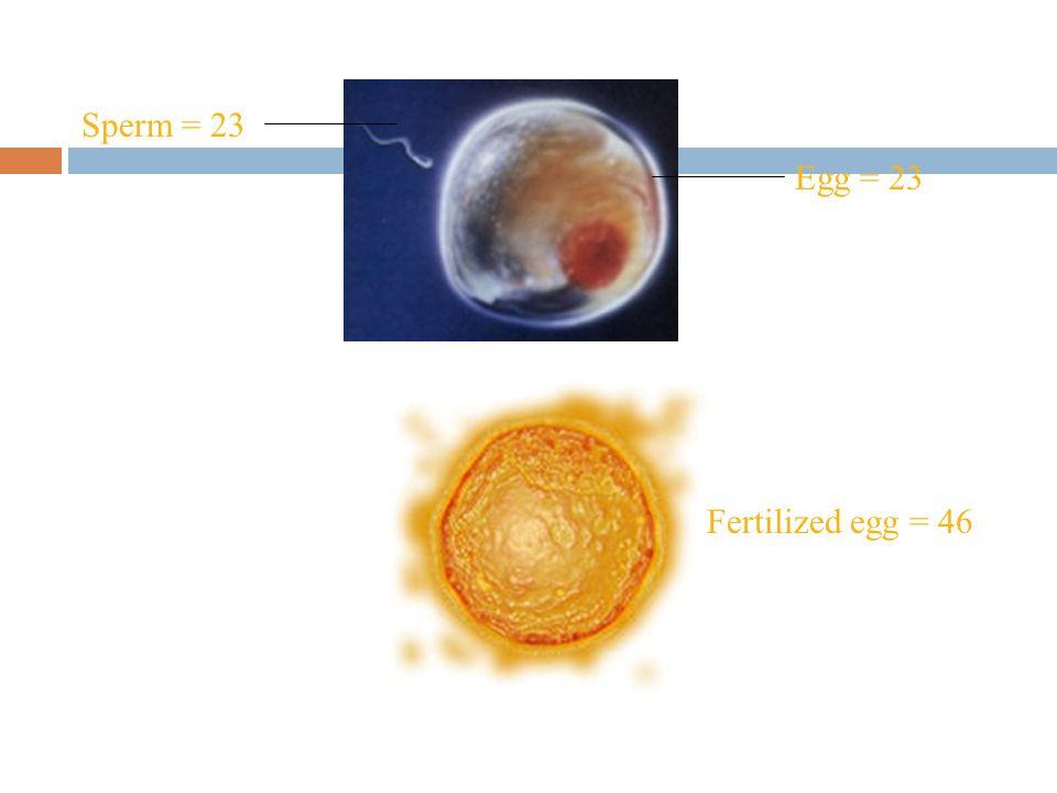 Sperm = 23 Egg = 23 Fertilized egg = 46